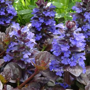 Ground Covers From Growing Colors