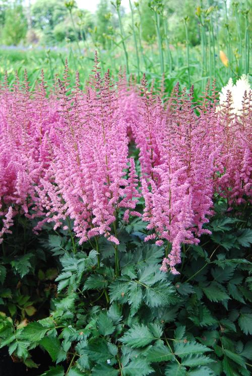 Astilbe chinensis (False Spirea)