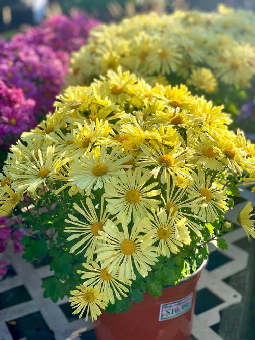 hardy mum chrysanthemum mammoth u2122 yellow quill from growing colors
