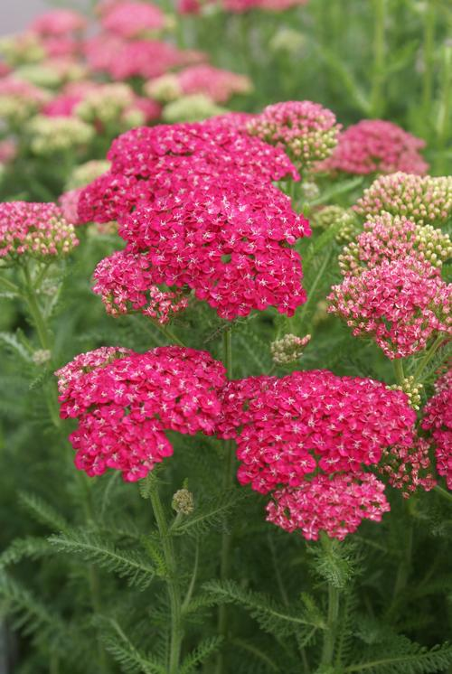 Achillea millefolium Saucy Seduction