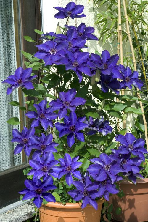 Clematis (Queen of the Vines)