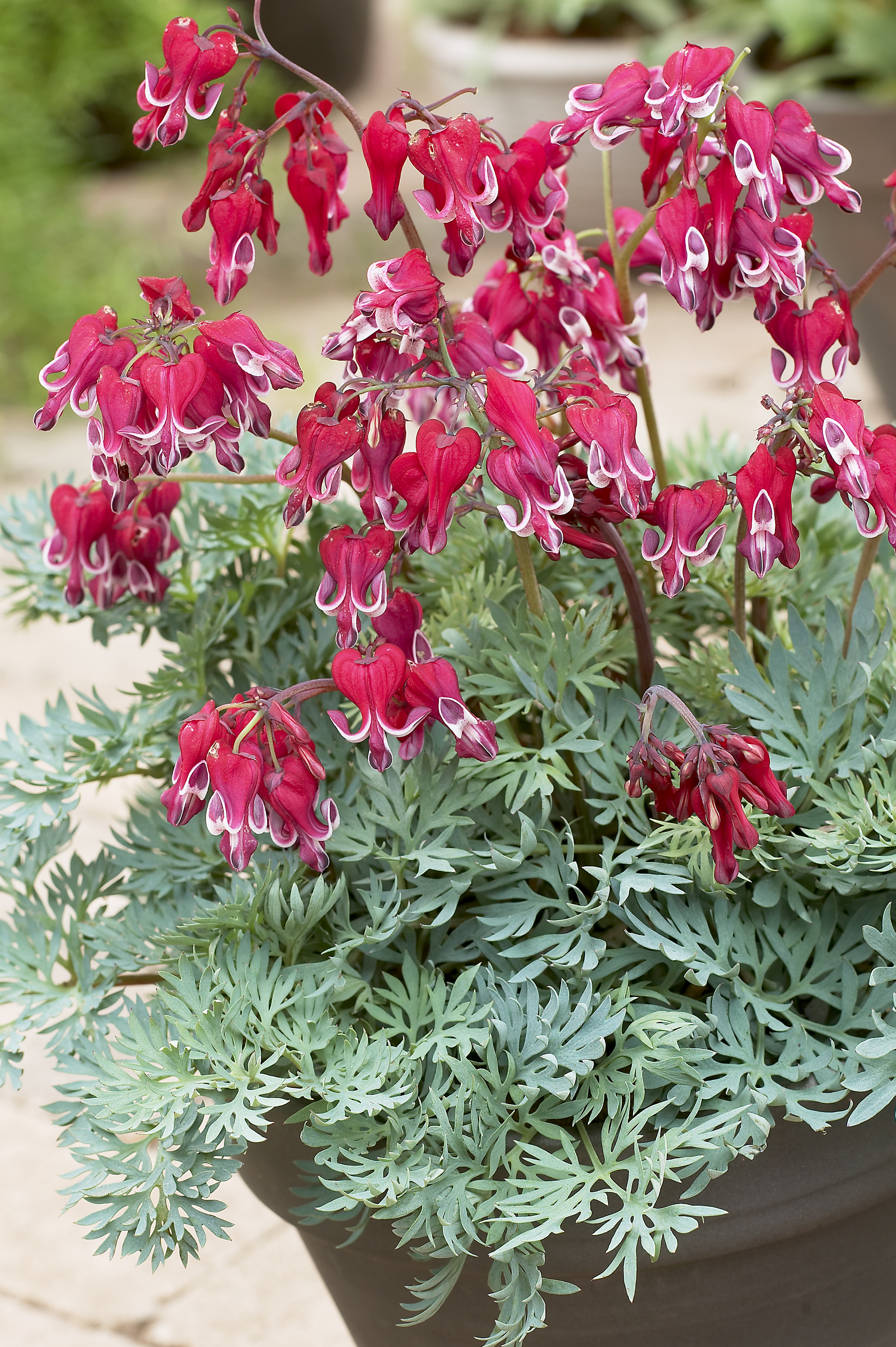 Bleeding Heart Dicentra x Burning Hearts from Growing Colors