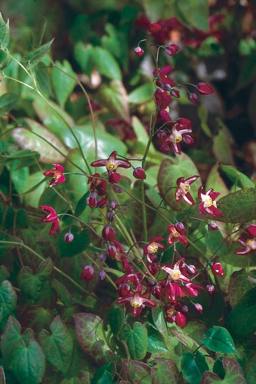 Epimedium x rubrum (Barrenwort)