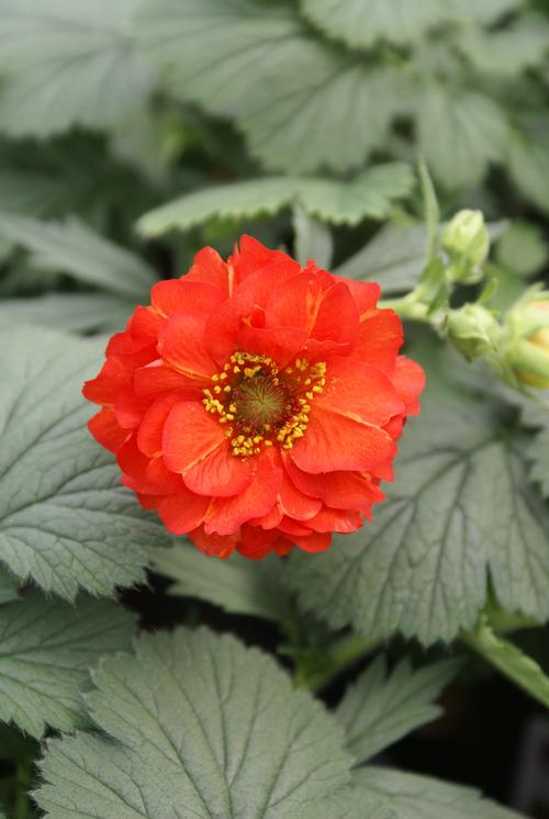 Avens Geum Chiloense Red Dragon From Growing Colors