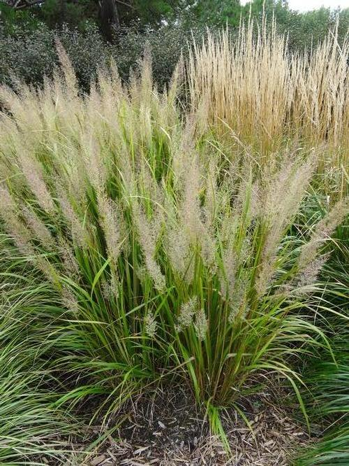 Calamagrostis arundinacea (Feather Reed Grass)