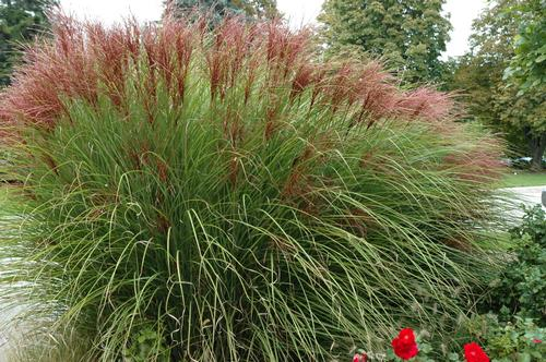 maiden grass miscanthus sinensis gracillimus from growing. Black Bedroom Furniture Sets. Home Design Ideas