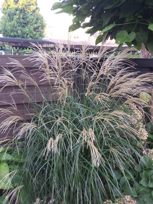 maiden grass miscanthus sinensis silberfeder from growing colors. Black Bedroom Furniture Sets. Home Design Ideas