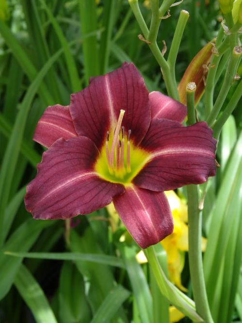 Daylily Hemerocallis Mary Reed From Growing Colors