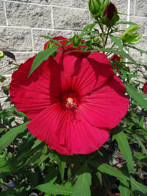 Rose Mallow Hibiscus Fireball From Growing Colors