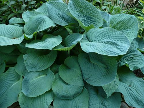 plantain lily hosta big daddy from growing colors. Black Bedroom Furniture Sets. Home Design Ideas