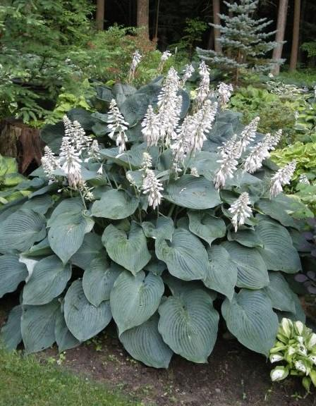 plantain lily hosta blue angel from growing colors. Black Bedroom Furniture Sets. Home Design Ideas