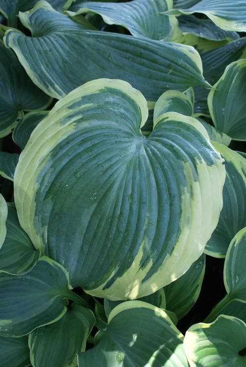 Plantain Lily Hosta Earth Angel From Growing Colors