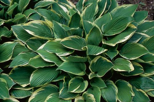Plantain Lily Hosta Fortunei Aureomarginata From Growing Colors