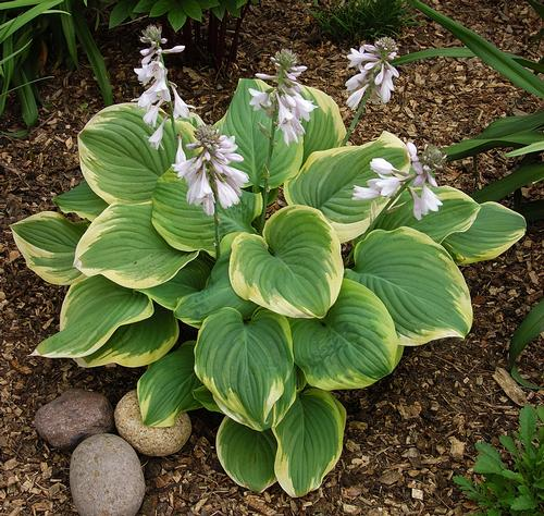 Plantain Lily Hosta Fragrant Bouquet From Growing Colors
