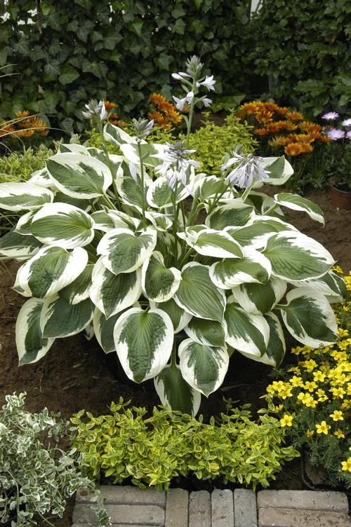Plantain Lily Hosta Minuteman From Growing Colors