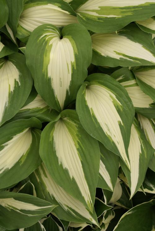 Plantain Lily Hosta Night Before Christmas from Growing Colors
