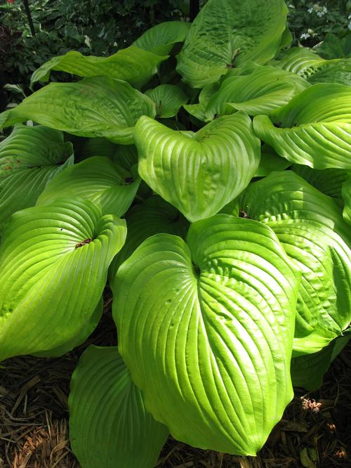 Hosta Plantain Lily Sum Substance