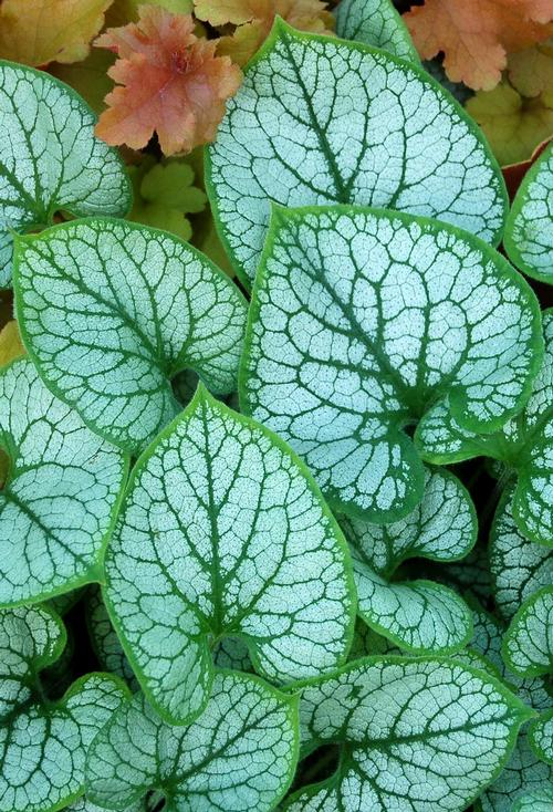 Jack from Heartleaf Frost Brunnera Alkanet macrophylla P8wO0kn