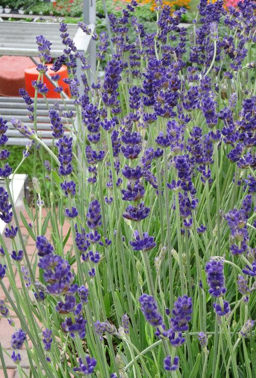 lavender lavandula angustifolia hidcote from growing colors. Black Bedroom Furniture Sets. Home Design Ideas