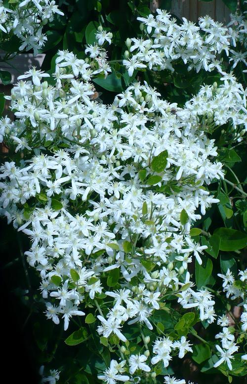 Silver lace vine polygonum aubertii from growing colors polygonum aubertii silver lace vine mightylinksfo