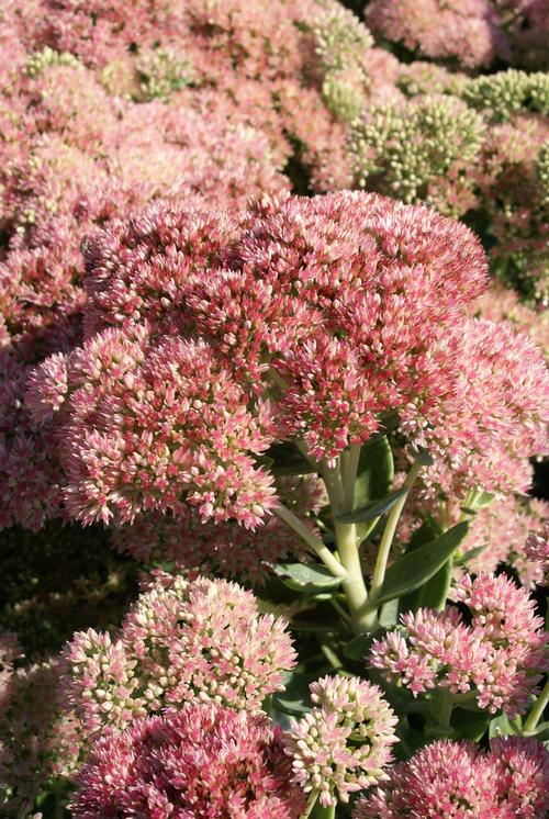 Sedum 'Autumn Fire'