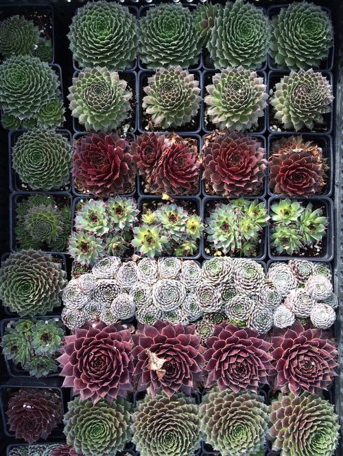 Sempervivum Hens & Chicks 'Mixed Assortment'