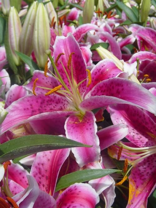 Lilies From Growing Colors