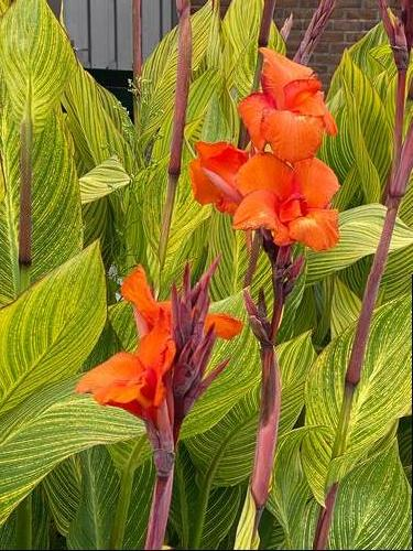 Canna Lily Canna Pretoria From Growing Colors