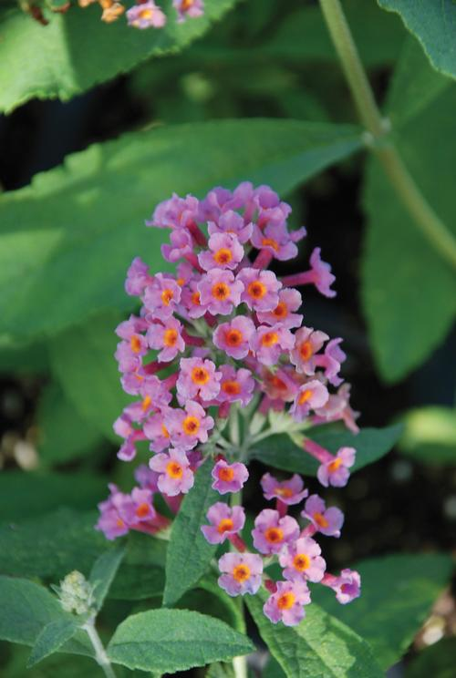 Butterfly Bush Buddleia Davidii Bicolor From Growing Colors