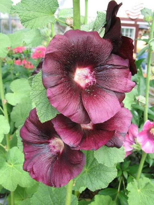 Alcea rosea Spotlight™ Blacknight