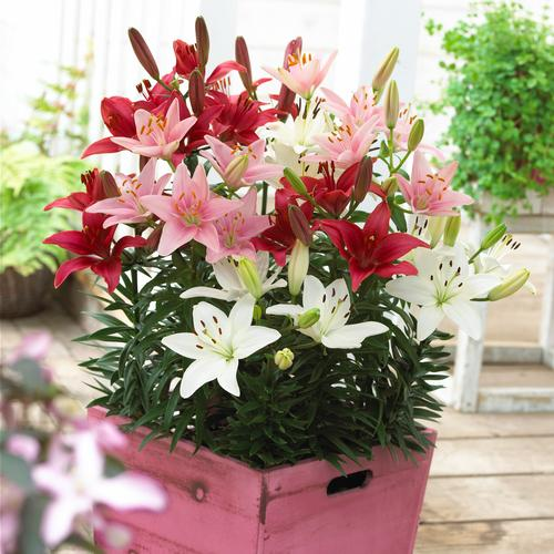 Lilium - Lily Looks™ (Asiatic Pot Lily Combo)