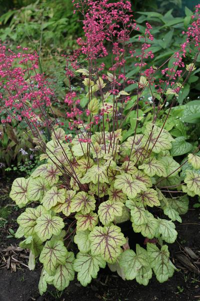 Coral Bells Heuchera Circus From Growing Colors