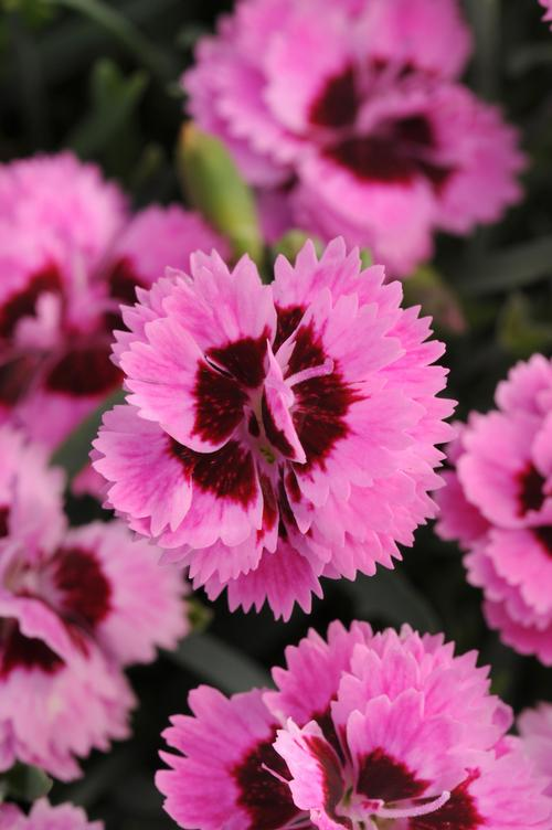 Garden Pinks Dianthus Everlast Lilac Eye From Growing