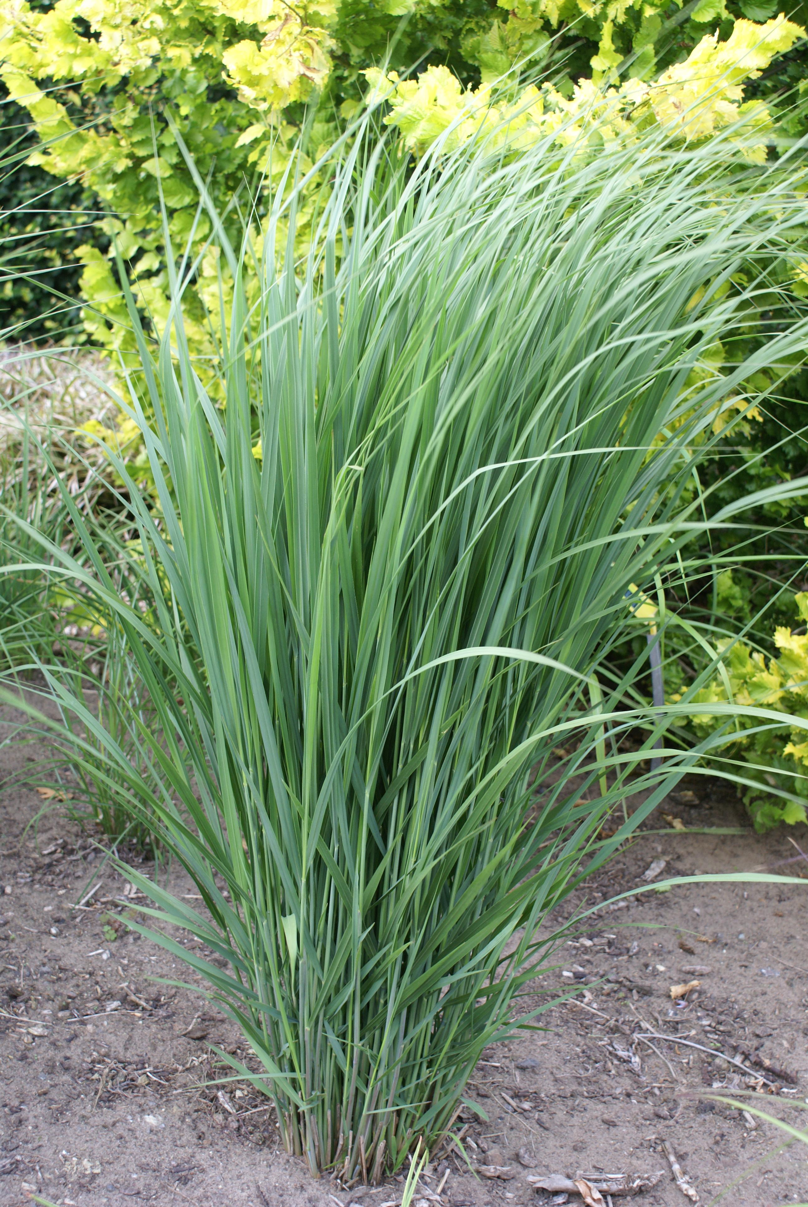 switch grass panicum virgatum northwind from growing colors. Black Bedroom Furniture Sets. Home Design Ideas