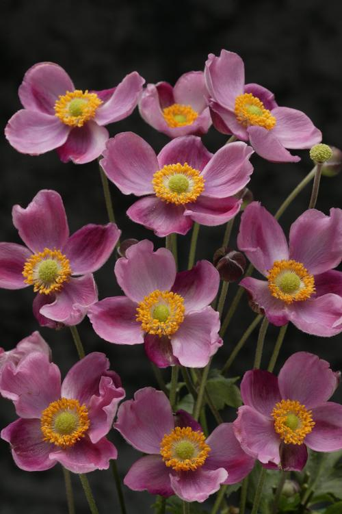 Japanese Anemone Anemone X Pink Kiss From Growing Colors