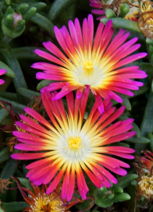 Hardy Ice Plant Delosperma Wow 174 Hot Pink Wonder From