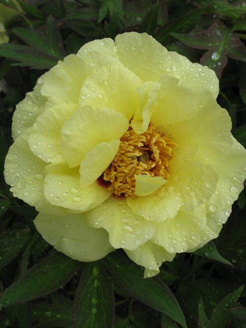 Tree Peony Peony Tree High Noon Yellow From Growing Colors