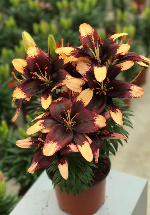Lilium - Asiatic Pot Lily Looks™ 'Tiny Epic'