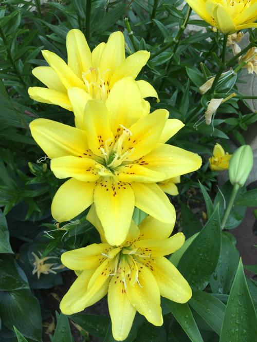 Lilium - Asiatic Lily Double Flowering ()