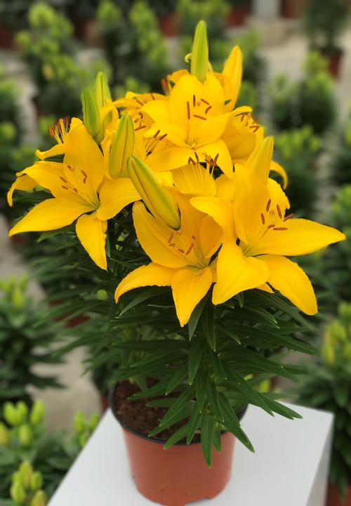 Lilium - Lily Looks™ (Asiatic Pot Lily)