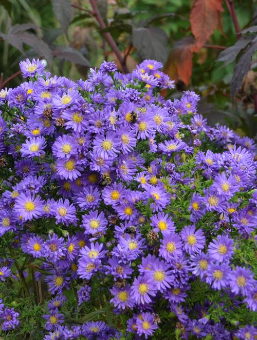 Aster (Hardy Aster)