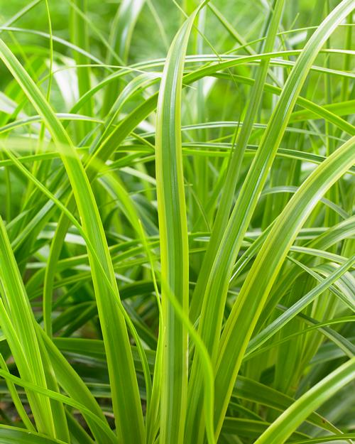 Carex oshimensis (Sedge)