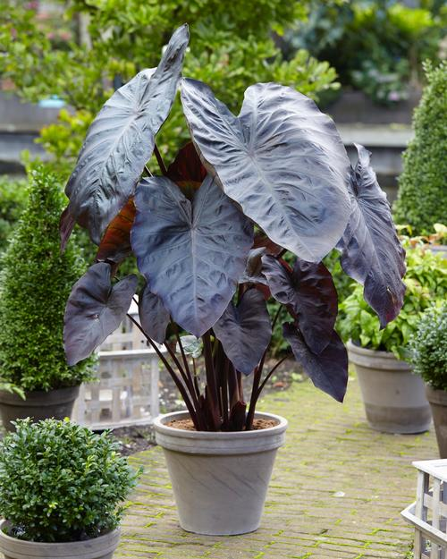 Elephant Ears - Colocasia (Elephant Ears)