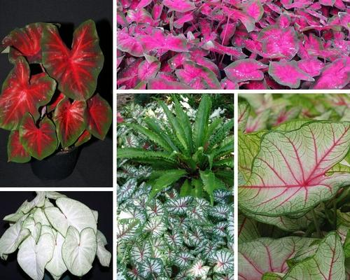 Caladium (Angel Wings)
