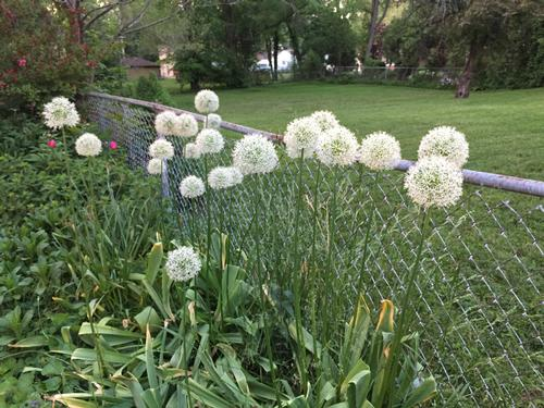 recommended info for allium how to grow
