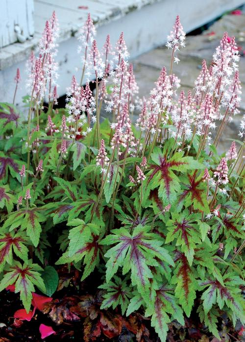 Tiarella x (Foamflower)