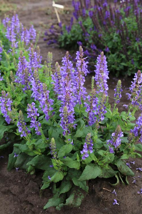 Salvia nemorosa 'Marvel Series Sky Blue Marvel'