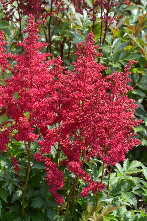 Astilbe chinensis Lowlands Ruby Red