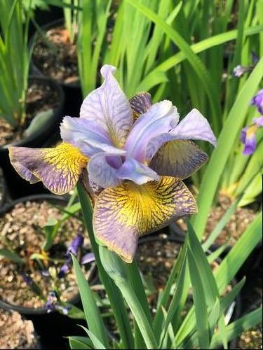 Iris siberica 'Peacock Butterfly™ Uncorked'