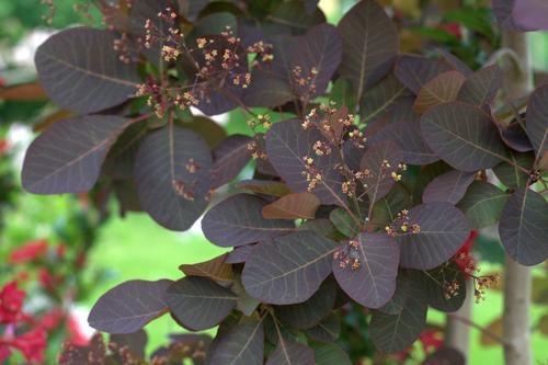 Cotinus x (Smokebush)